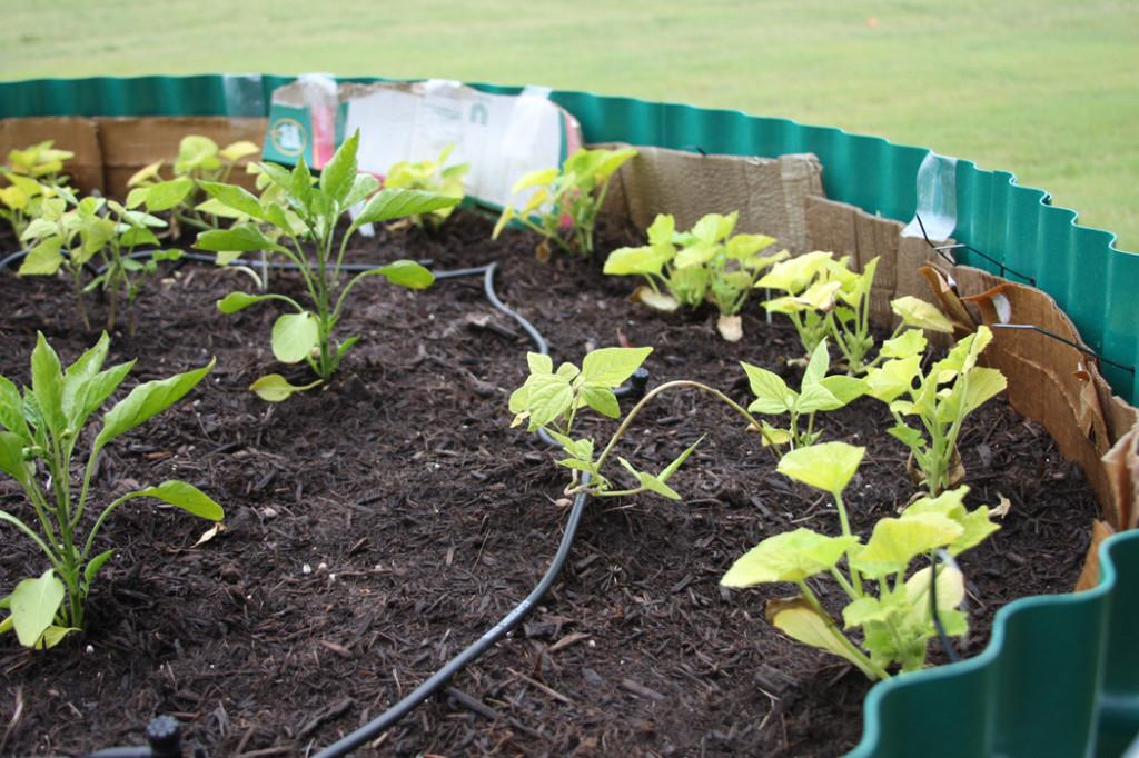 Seeding+the+way%3A+Junior+plants+on-campus+garden+to+supply+food+to+needy