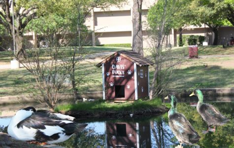 Davis' Duck house, named after a previous principal, gives the ducks shelter on rainy days.
