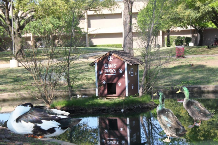 Davis%27+Duck+house%2C+named+after+a+previous+principal%2C+gives+the+ducks+shelter+on+rainy+days.