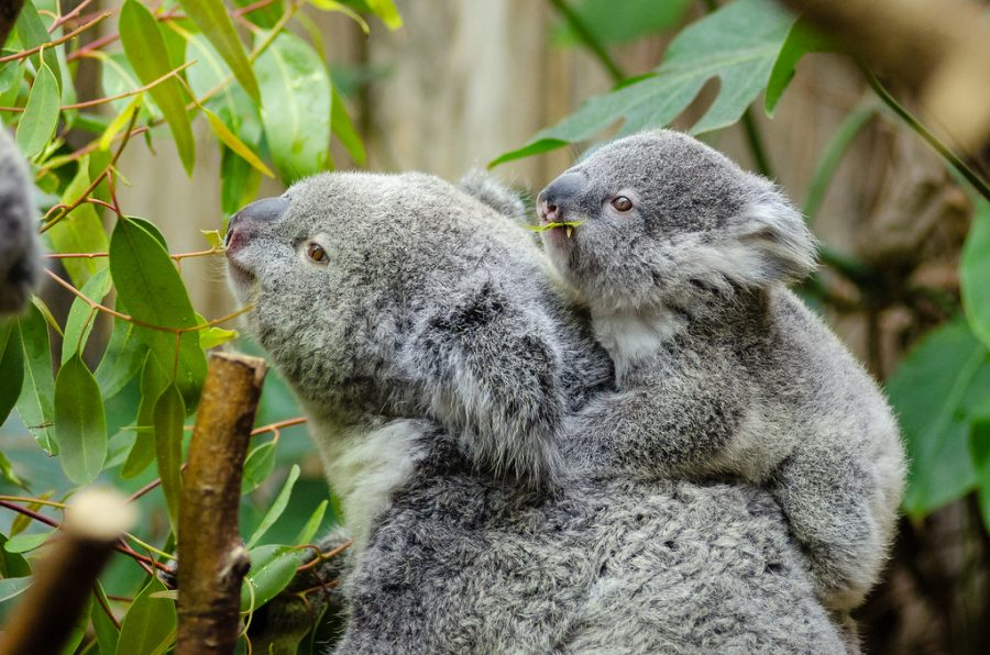Two koalas climb a tree in the Australian forest, now endangered.